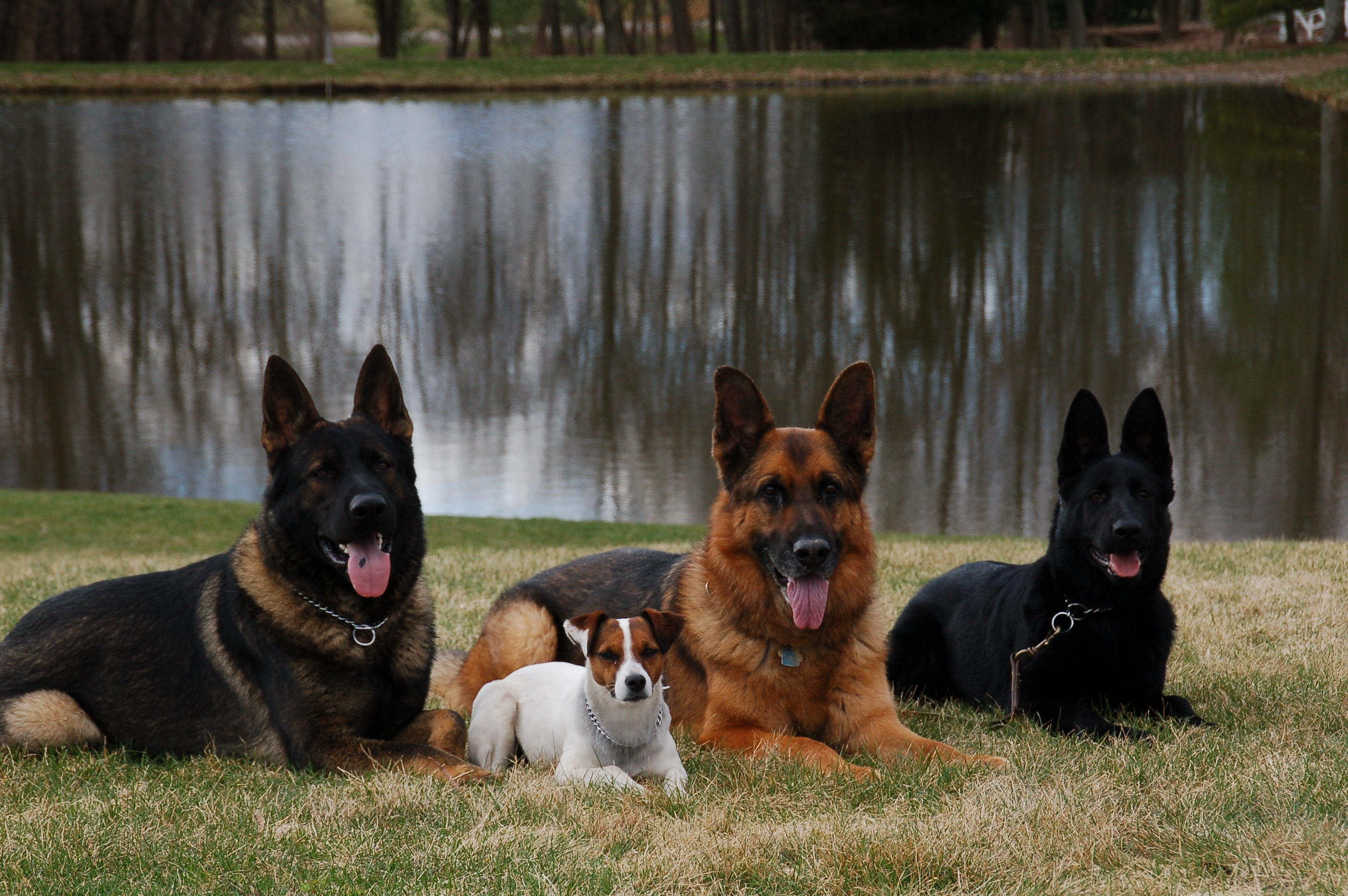 West Virginia German Shepherd Breeder With Quality Ddr Pups